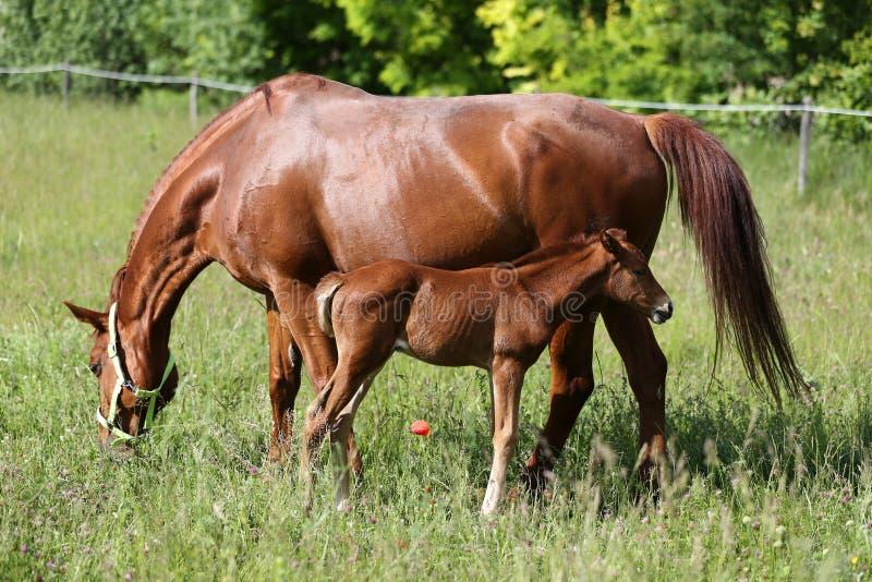 Mooie jonge warmbloodmerrie die haar pasgeboren veulen de borst geven stock foto