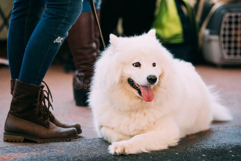 Mooie Jonge Witte Samoyed-Hond die op Vloer rusten stock foto