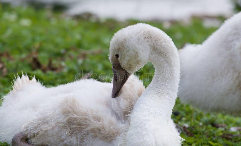 Mooie jonge zwaan op het gras royalty-vrije stock fotografie