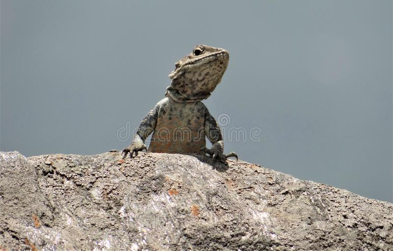 Mooie kameleon potrait geschotene zitting op rots royalty-vrije stock afbeelding