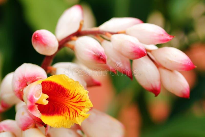 Mooie kardemombloemen en knoppen op achtergrond stock afbeeldingen