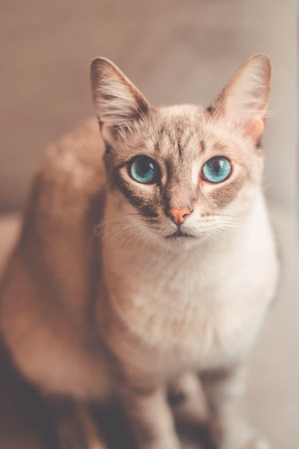 Mooie kat met blauwe ogen die aan de camera kijken royalty-vrije stock afbeelding