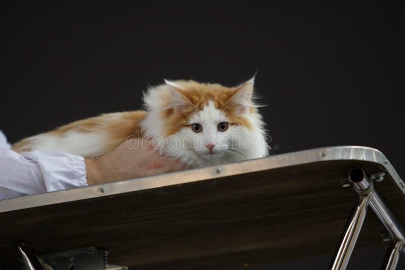 Mooie kat tijdens een tentoonstelling stock fotografie