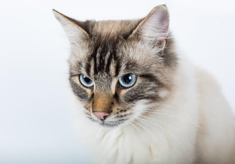 Download Mooie Katten Dichte Omhooggaand Op Een Witte Achtergrond Stock Afbeelding - Afbeelding bestaande uit bont, leuk: 107705761