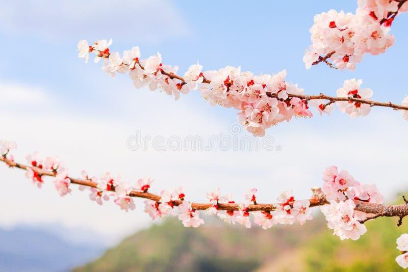 Download Mooie Kersenbloesem, Sakura In De Zachte Nadruk Van De De Lentetijd Stock Foto - Afbeelding bestaande uit nave, spring: 107705698