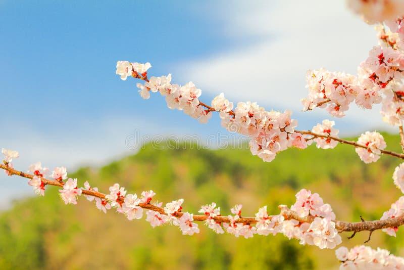 Download Mooie Kersenbloesem, Sakura In De Zachte Nadruk Van De De Lentetijd Stock Afbeelding - Afbeelding bestaande uit blauw, ochtend: 107705735