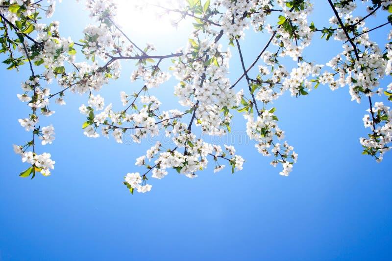 Mooie kersenbloesem tegen blauwe hemel stock foto