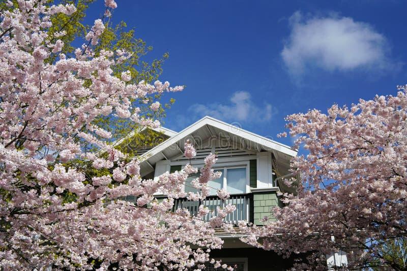 Mooie kersenbloesems tegen blauwe hemel en groene bomen in lentetijd stock afbeelding