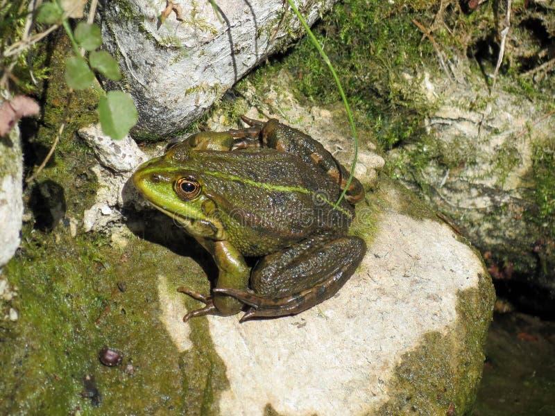 Mooie kikker op steen, Litouwen stock foto's