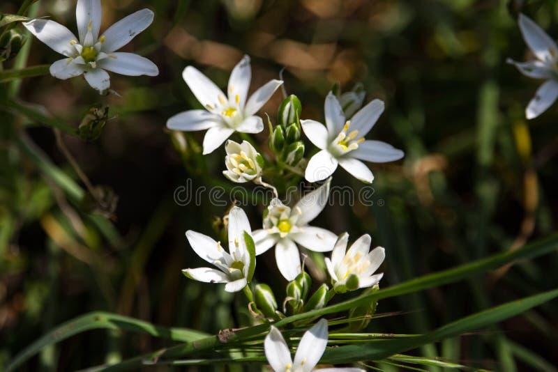 Mooie kleine witte bloemen in groen gras Bloomimgweide Bloesemconcept De lente en de zomeraardclose-up stock foto's