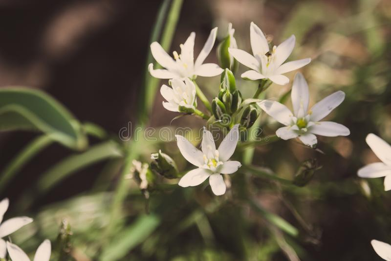 Mooie kleine witte bloemen in groen gras Bloomimgweide Bloesemconcept De lente en de zomeraardclose-up royalty-vrije stock fotografie