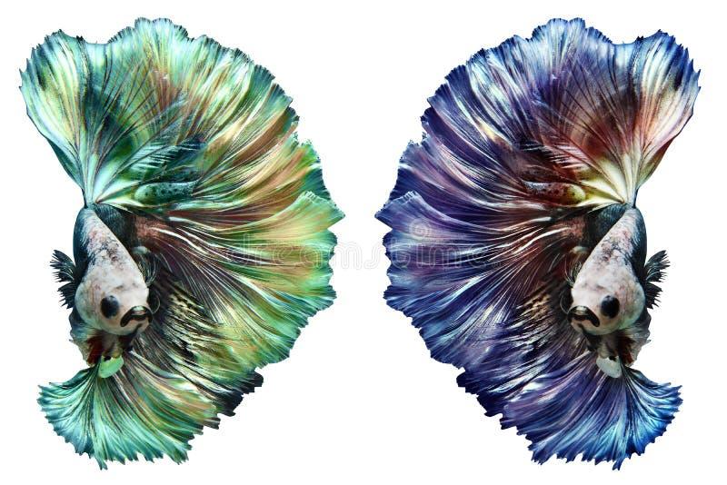 Mooie kleur van Betta Fish-beweging met het knippen van weg royalty-vrije stock afbeeldingen