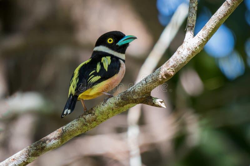 Mooie kleur van zwart-en-Gele Broadbill stock foto's