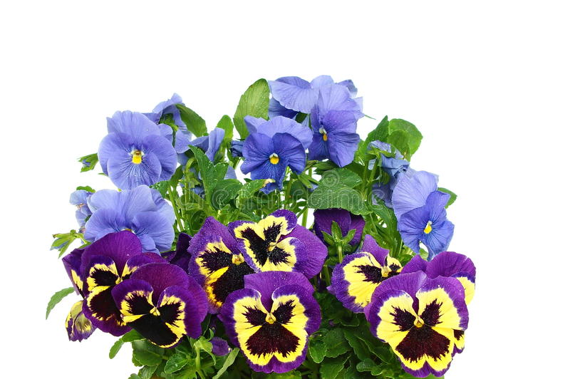 Mooie kleurenmengeling van pansies royalty-vrije stock foto's