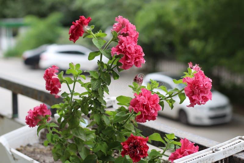 Mooie kleurrijk van de bloem van de versheidspetunia in roze die bloesem en de groei in pot dichtbij venster buiten, balkon in de stock fotografie