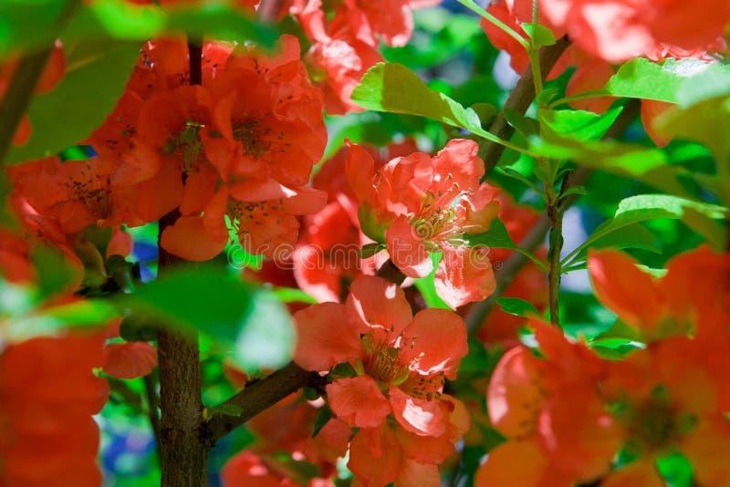 Mooie kleurrijke bloemen bloeiende Japanse kweepeer stock foto's
