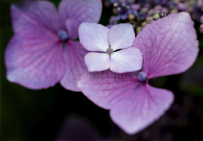 Mooie kleurrijke de bloem dichte omhooggaand van de de Zomerhydrangea hortensia royalty-vrije stock foto's
