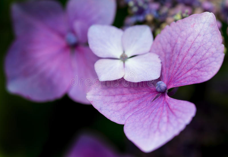 Mooie kleurrijke de bloem dichte omhooggaand van de de Zomerhydrangea hortensia royalty-vrije stock afbeelding