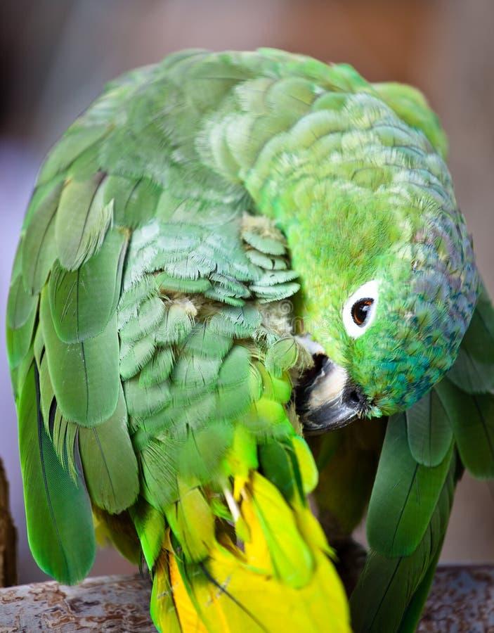 Mooie kleurrijke papegaai stock afbeelding