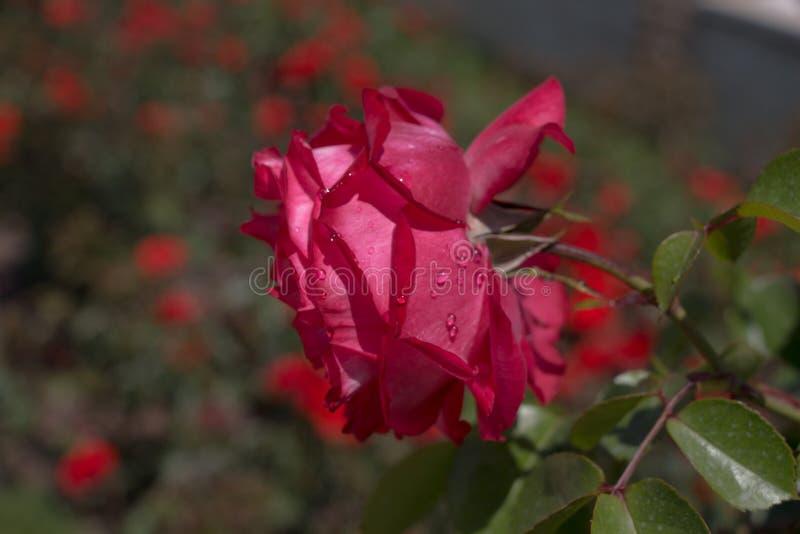 Mooie kleurrijke Rose Flower royalty-vrije stock foto's