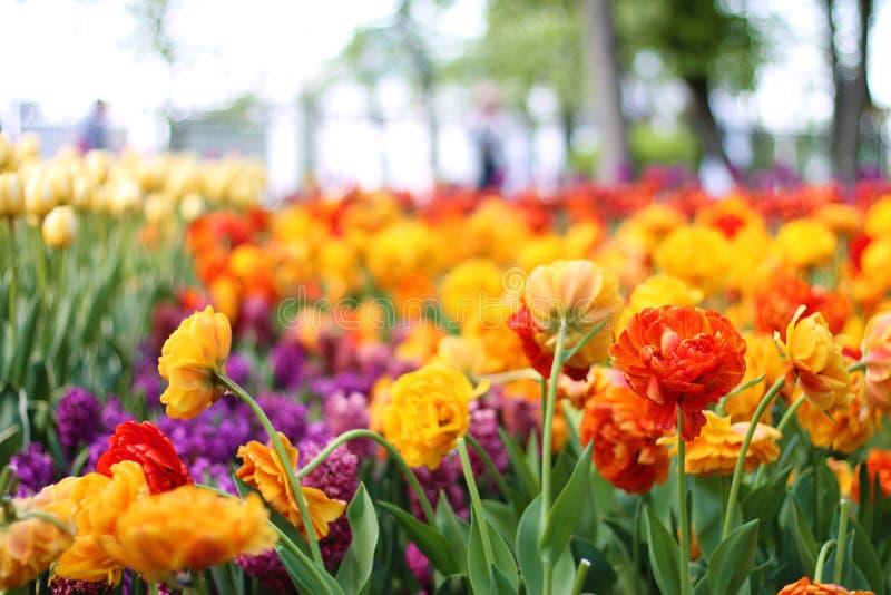 Mooie kleurrijke tulpen enkel Geregend Rode tulpen stock fotografie