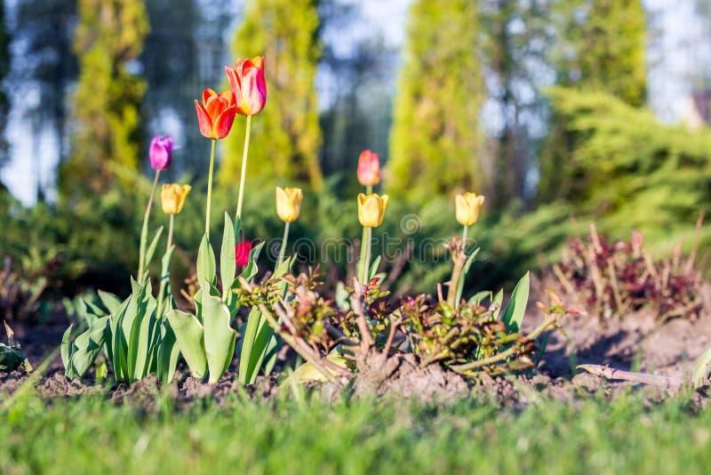 Mooie kleurrijke tulpen op bloembed bij huisbinnenplaats bij heldere zonnige dag Het modelleren ontwerp en het tuinieren royalty-vrije stock afbeeldingen