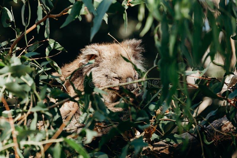 Mooie koala die eucalyptusbladeren tussen boomtakken eten stock afbeeldingen