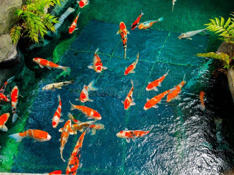 Mooie koivissen die in pong in een kleine die rivier zwemmen, vijver door groene struiken in Japanse tuin Asakusa Kannon wordt om stock foto's