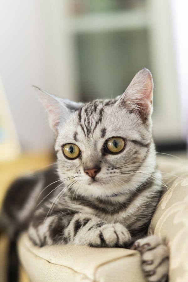 Mooie korte haarkat die thuis op de vloer ligt stock foto's