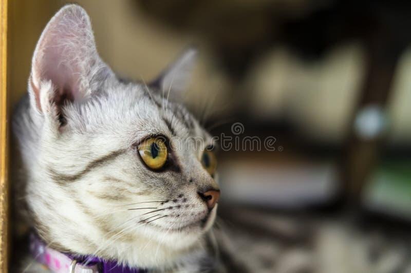 Mooie korte haarkat die thuis op de vloer ligt royalty-vrije stock fotografie