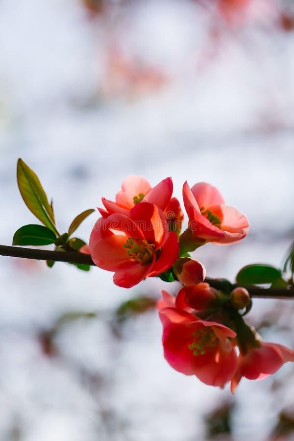 Mooie kweepeerbloemen stock afbeeldingen