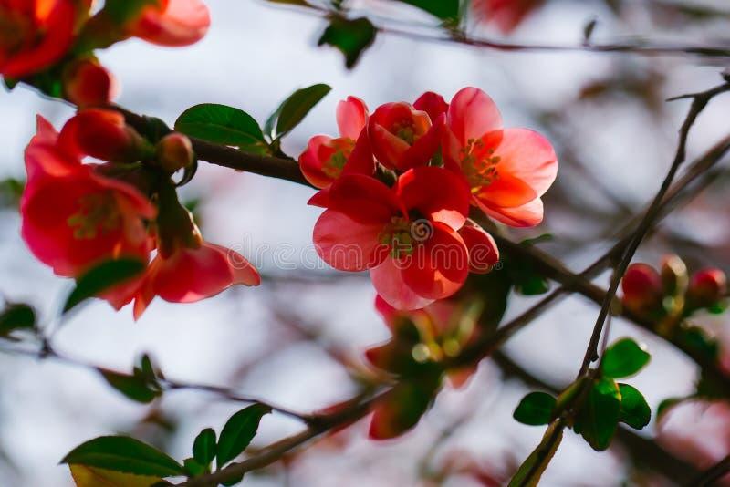 Mooie kweepeerbloemen royalty-vrije stock afbeeldingen