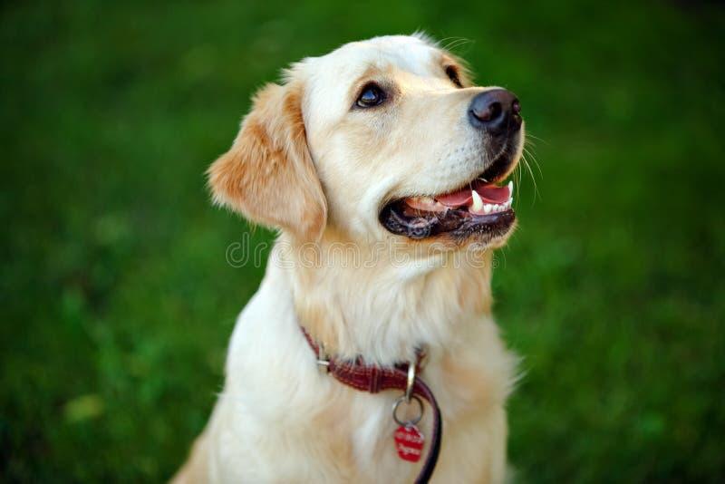 Mooie Labrador met wit bont op de achtergrond van groen royalty-vrije stock fotografie