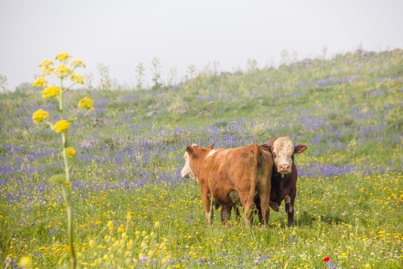 Mooie landelijke landschappen van de lente bloeiend weide en weiland met twee bruine koeien in een plattelandslandschappen royalty-vrije stock foto