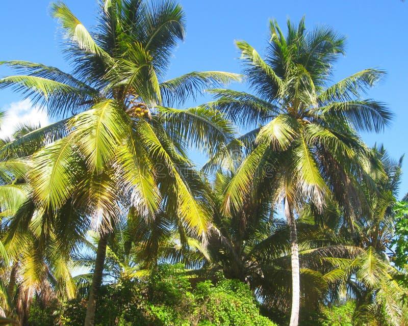 Mooie lange kokosnotenpalmen op eiland in de Caraïben, Dominicaanse Republiek Wildernislandschap Exotisch Paradise stock afbeelding