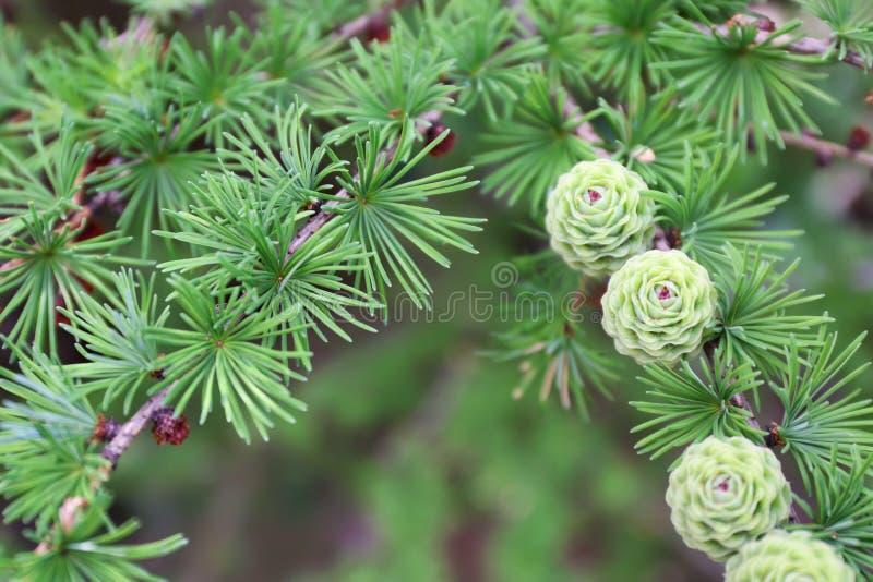 Mooie lariksboom met groene kegels in openlucht royalty-vrije stock foto