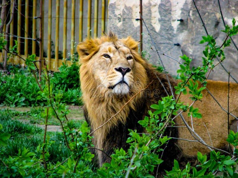 Mooie leeuw in zonnige dag - hoofddetail royalty-vrije stock afbeelding