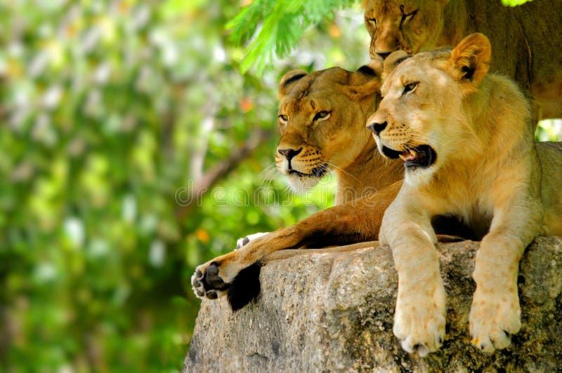 Mooie leeuwen royalty-vrije stock afbeeldingen