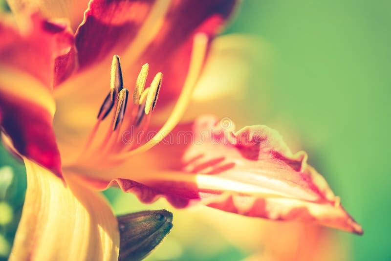 Mooie lelie, gele en oranje bloem in tuin stock foto's