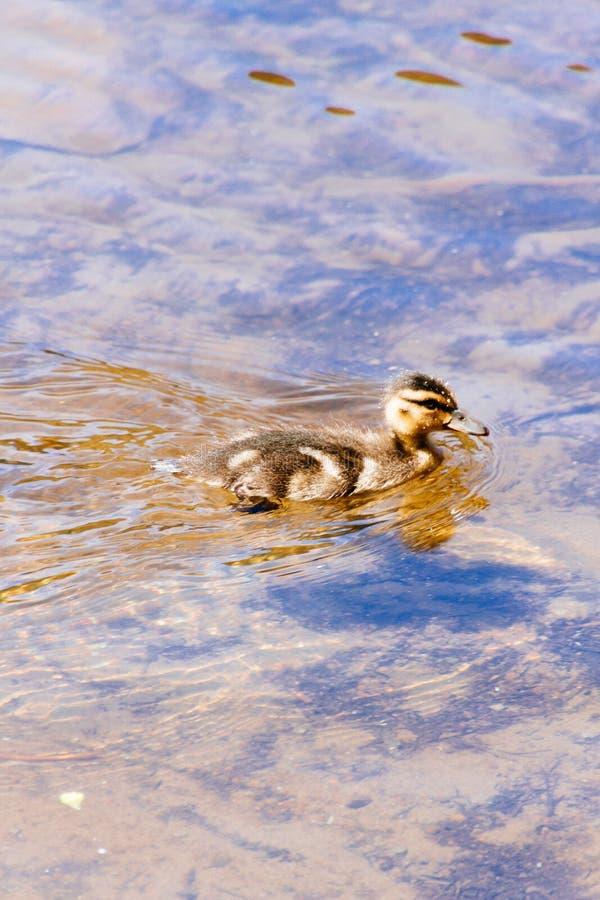 Mooie leuke babyeend die in een meer zwemmen stock afbeelding