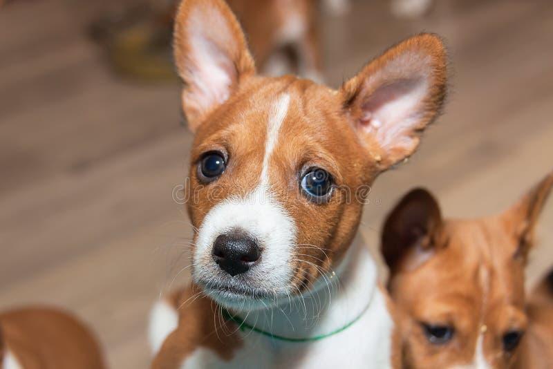 Mooie, leuke puppyhonden die geen basenji van het hondras ontschorsen royalty-vrije stock afbeeldingen