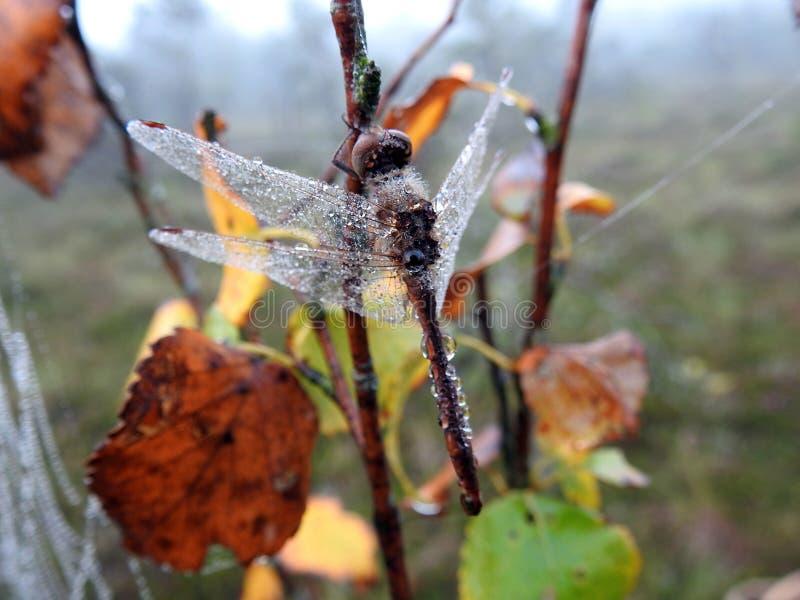 Mooie libel op de tak van de berkboom met ochtenddauw, Litouwen stock foto