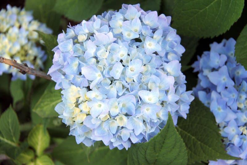 Mooie lichtblauwe Hydrangea hortensia in Beverly, Massatuchets royalty-vrije stock afbeelding