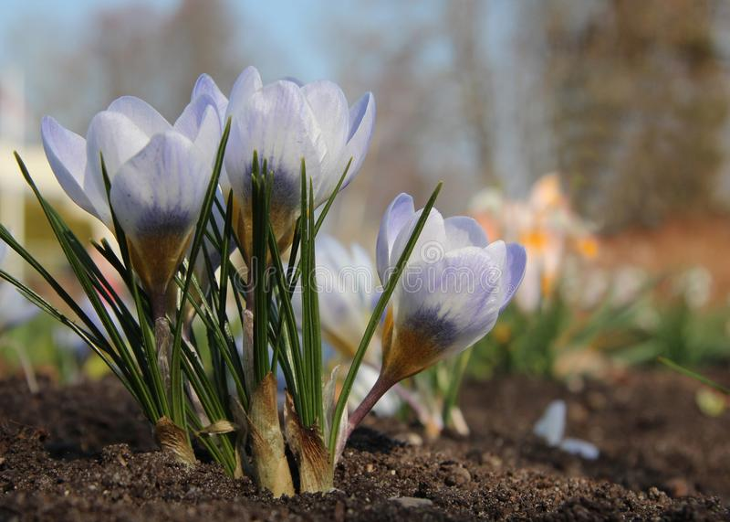 Mooie lichte violette krokusbloemen Vroege de lentebloemen royalty-vrije stock afbeelding
