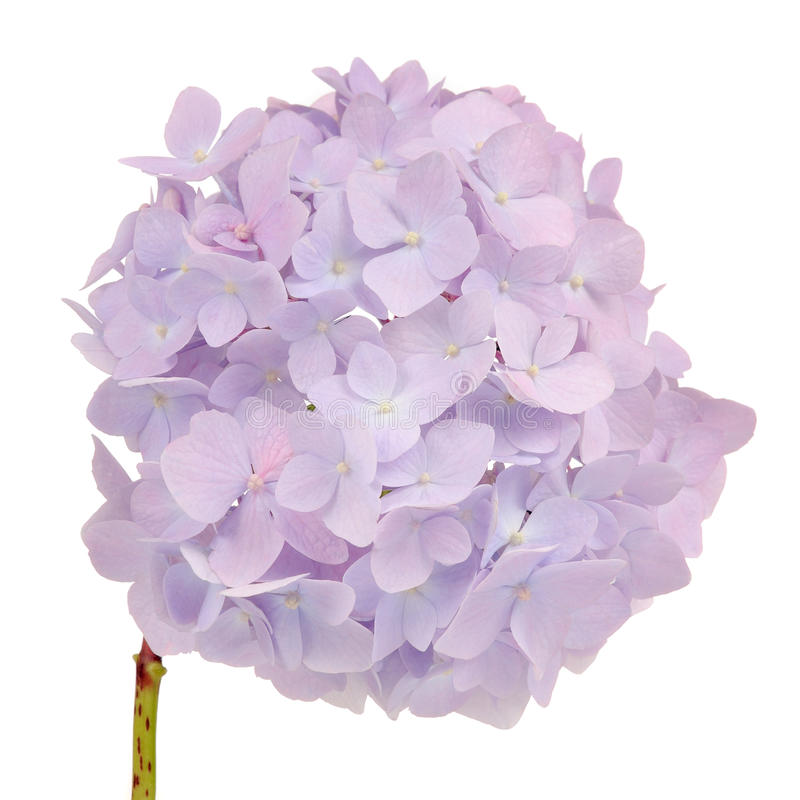 Mooie Lichtpaarse Hydrangea hortensiabloemen op Witte Achtergrond royalty-vrije stock fotografie