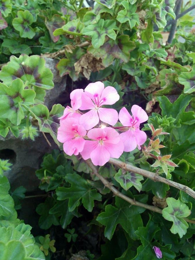 Mooie lichtrose bloemen met groene bladeren stock afbeeldingen