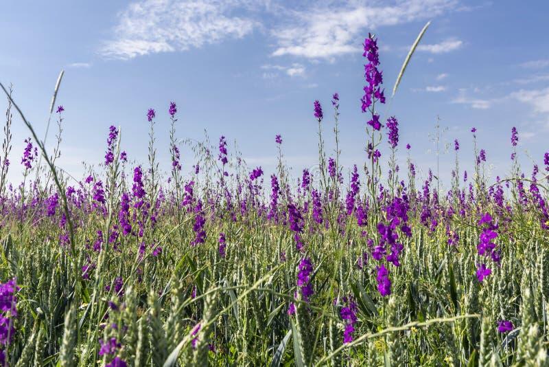 mooie lilac kleurenwildflowers op groen gebied, lichtblauwe hemel met witte wolken, de zomer royalty-vrije stock afbeelding