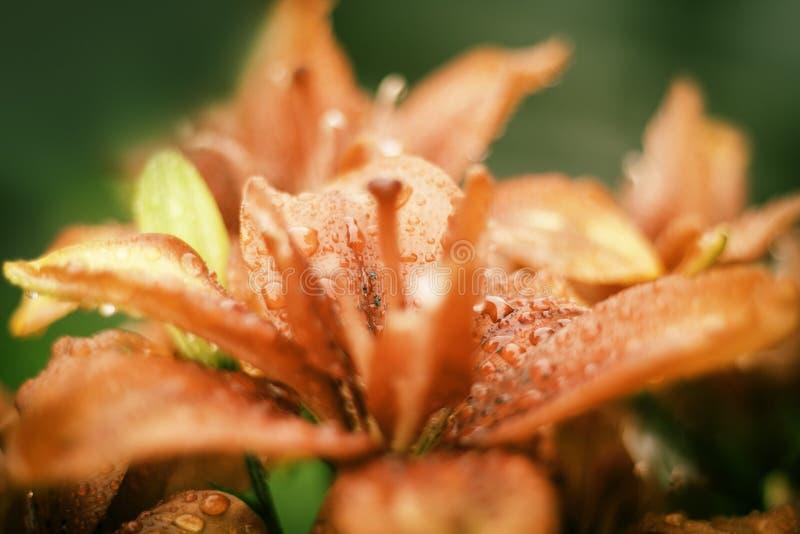 Mooie Lily Flowers Wallpaper stock afbeelding