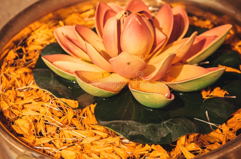 Mooie Lotus-bloem in kom met bloemblaadjes van installaties in zoet water Nelumbo als Lotus wordt bekend - heilige installatie di stock foto's
