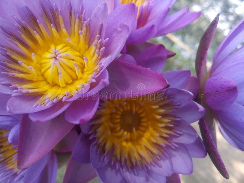 Mooie Lotus-pic, dit is nationale bloem van INDIA royalty-vrije stock afbeelding